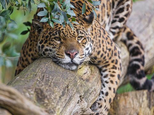 müdes Tier