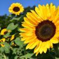 Sonnenblumen im Jahreskreis – ein kleines Pflanzprojekt
